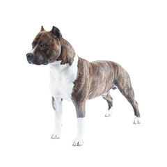 Amerikanischer Staffordshire Terrier