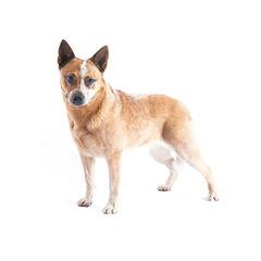 Australischer Viehhund