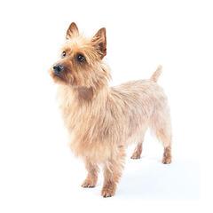 Australischer Terrier