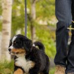 5 Tipps zum Trainieren eines Welpen