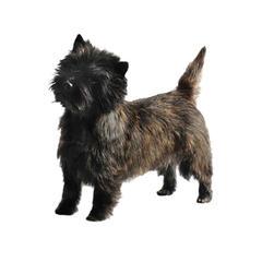 Steinhaufen-Terrier