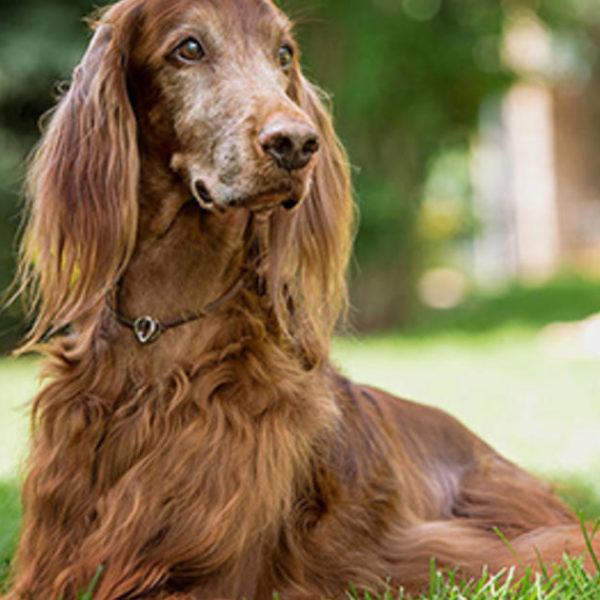 Fütterung älterer Hunde: Wann sollte man über Seniorenfutter nachdenken?