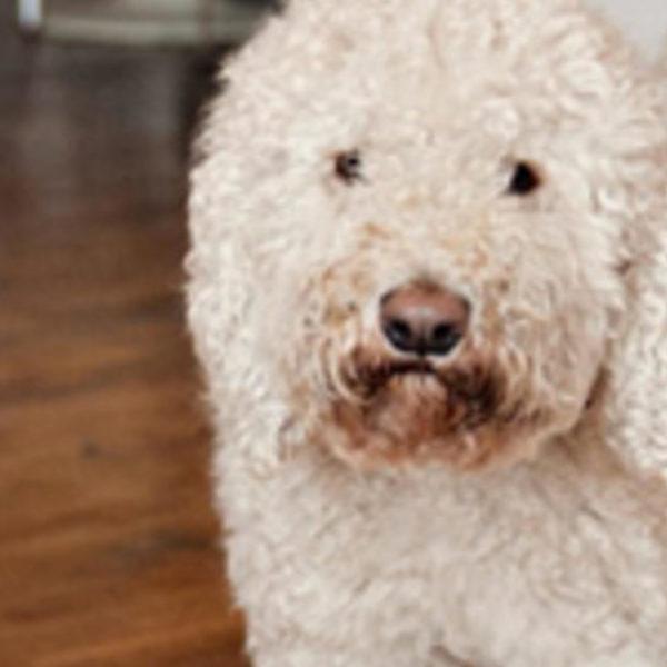 Hat Ihr Hund eine altersbedingte kognitive Abnahme?