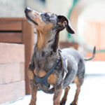 Wie man das beste Hundefutter für kleine Rassen auswählt