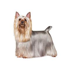 Seidiger Terrier