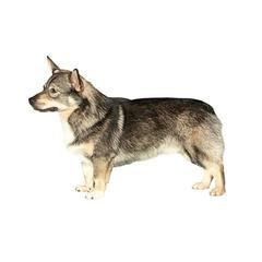 Schwedischer Vallhund