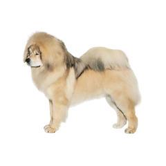 Tibetischer Mastiff