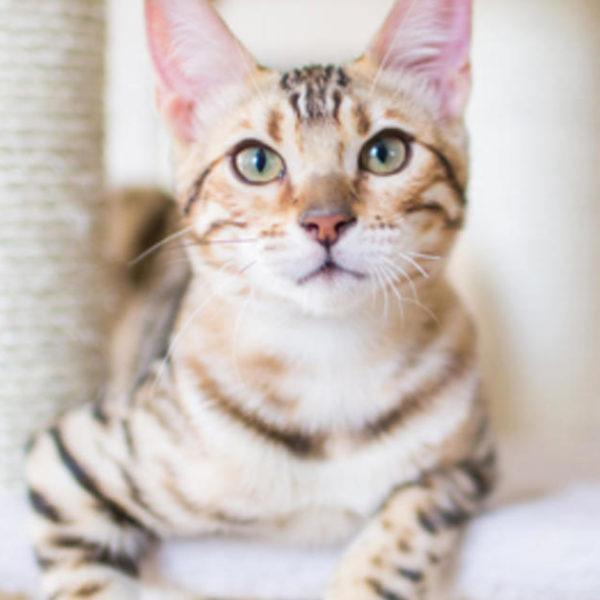 Hyperthyreose bei Katzen