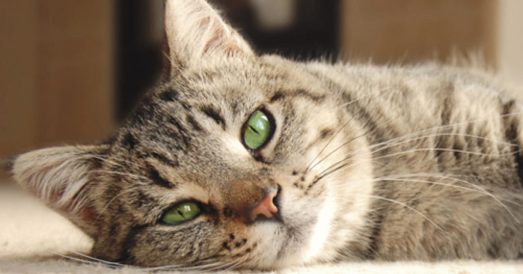 Kolitis bei Katzen   Haustiere Welt