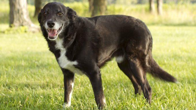 Blackie ist ein Senior Border Collie Mix. Blackie war eine Weile bei Cause for Paws in Ohio, bevor er sein Zuhause für immer fand, wo er den Rest seiner Tage mit einer Familie verbringen konnte, die ihn liebt.
