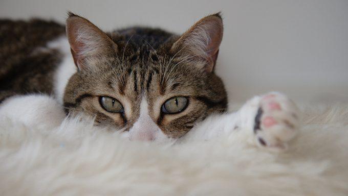 Katze, die auf weichem, pelzigem Teppich liegt