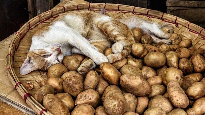 Entzückende Katze, die in einem Korb von frischen Frühkartoffeln schläft
