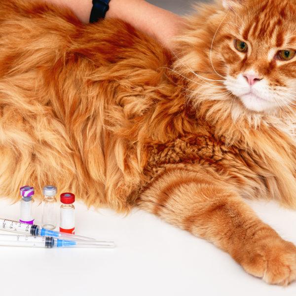 Die Impfungen, die Ihre Katze haben muss