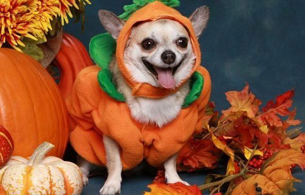 Chihuahua in little pumpkin costume