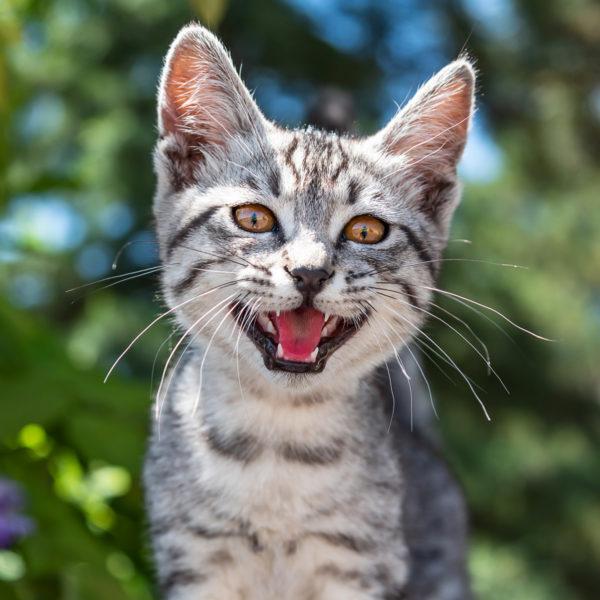 Katze übermäßiges Miauen und Jammern: Warum Katzen miauen