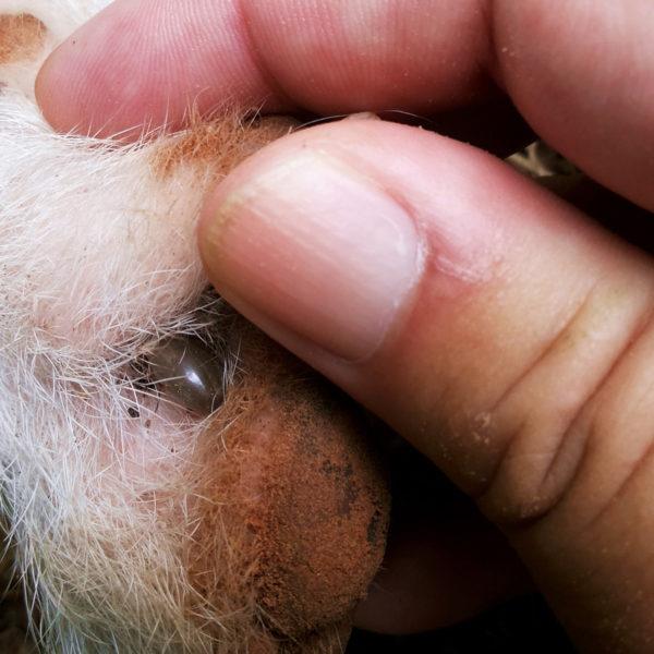 Suchen und Entfernen von Zecken von Ihrem Haustier: Ein einfacher Leitfaden