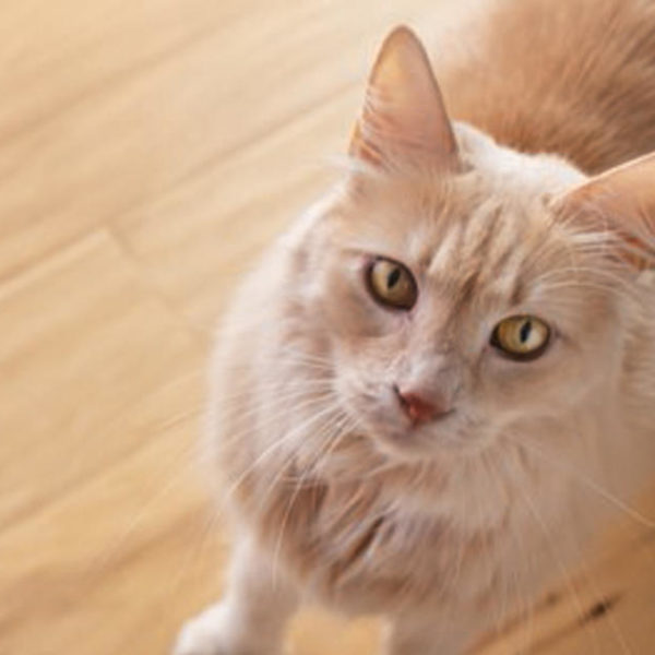 Verständnis von Katzenasthma, einschließlich der besten Katzenstreu für Katzen mit Asthma