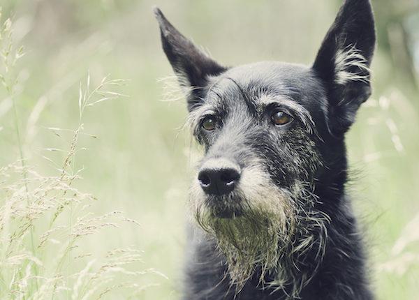 Wie erkennen Sie, ob Ihr Hund das Gehör verliert?