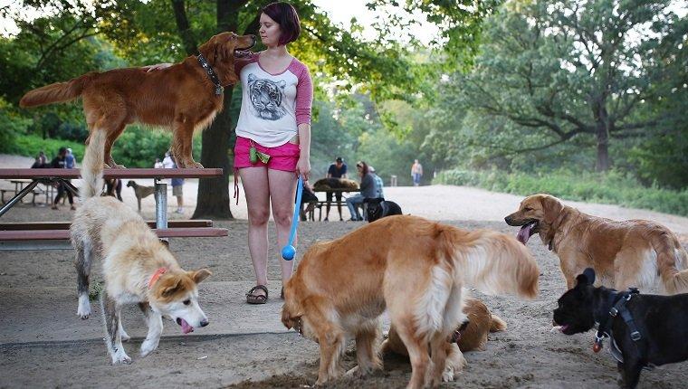 Toronto, Kanada - 4. Juli - Melissa Martin spielt mit ihren 6 Golden Retrievern am 4. Juli 2015 im Off-Leash-Hundepark in Torontos High Park. Cole Burston / Toronto Star (Cole Burston / Toronto Star über Getty Images)