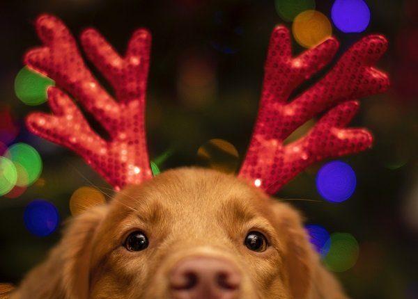 dog with christmas antlers