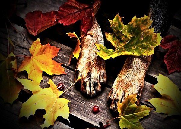 dog, animal, pet, feet, hair, nature, wood, planks, leaf, leaves, autumn, cranberries, red, gray, brown, black, orange, yellow, green,autumn, cranberries