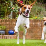 beagle dog running on some grass in park or garden