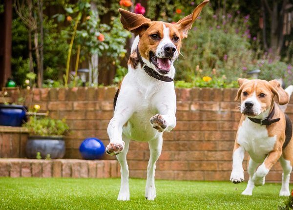 beagle dog running on some grass in park or garden