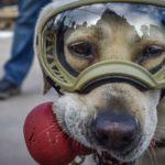 Historische Jagdhunde: Frida, der Erdbebenhund, half bei der Rettung gefangener Menschen und rettete Leben