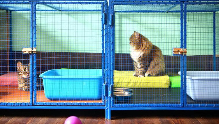 Zwei braune Hauskatzen, die in den Käfigen am Katzenhaus stillstehen. Dies ist eigentlich eine Villa für Katzenbetreuer, in der diese Katzen bleiben, während ihr Besitzer im Urlaub ist. Katzen haben alle Privilegien wie zu Hause.