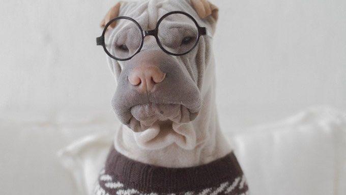 Hund in Brille und Pullover für Ihr Haustier Tag verkleiden