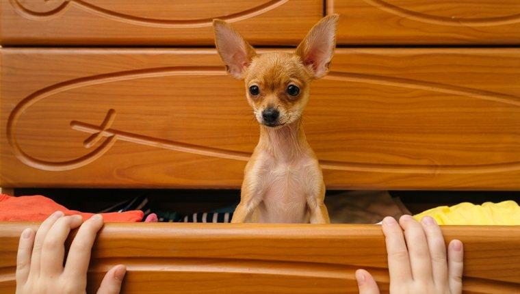 Toy Terrier, der sich in der Brust versteckte.