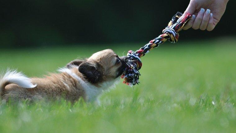 Chihuahua Welpenspiel mit Seilspielzeug in Frauenhand auf einem grünen Gras