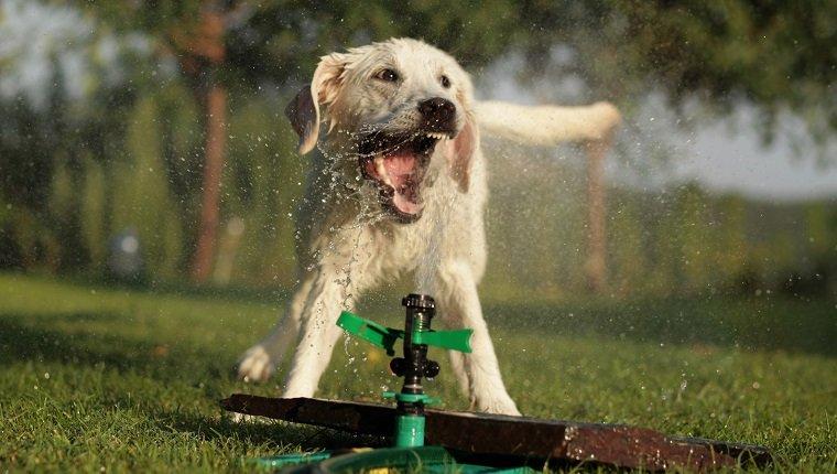Junger Labrador Retriever, der mit Wasser von Sprinklern spielt