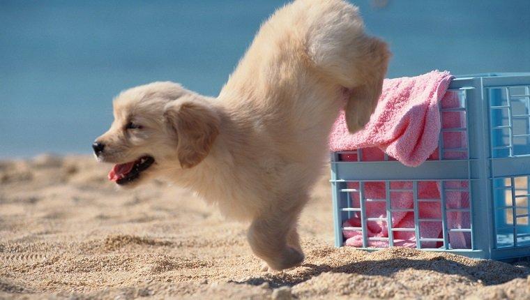 Welpe springt auf Strand