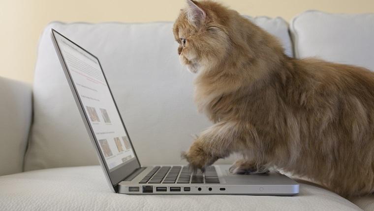 Persische Katze mit Laptop-Computer