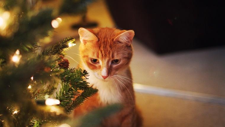 Orange Katze, die durch beleuchteten Weihnachtsbaum sitzt.