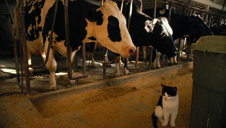 Katze sitzt neben Kühen