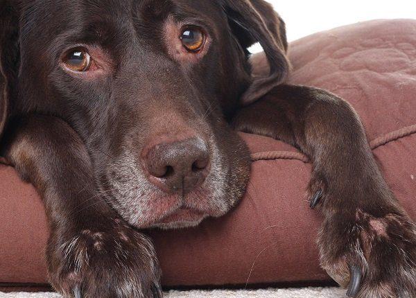 Very sad looking, very old Labrador retriever.