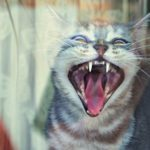 Close-Up Of Cat calling, meowing, and howling