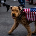Dog is walked on leash with American flag draped on their back