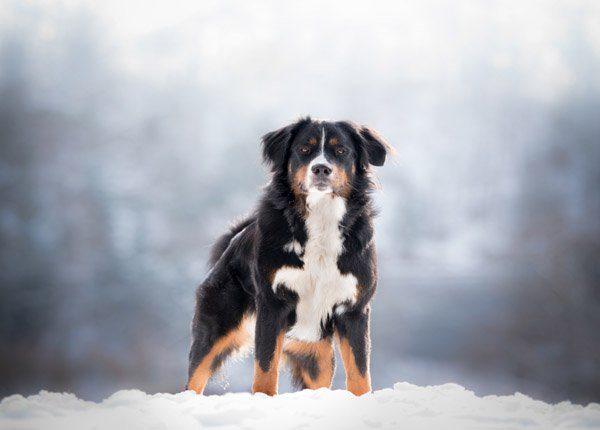 bernese mountain dog on show