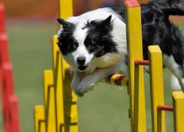 Hilarious Dog Agility Videos