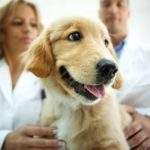 Middle aged male and femal vets examining Golden retriever puppy. The dog looks frightened and sad but she