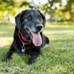 A senior Labrador Retriever dog lies down in grass in a park outdoors.