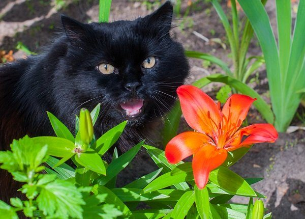 black cat is sitting near orange Lily