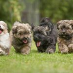 6 Running Havanese puppies of 9 weeks!6 little dog running in a row on green grass.