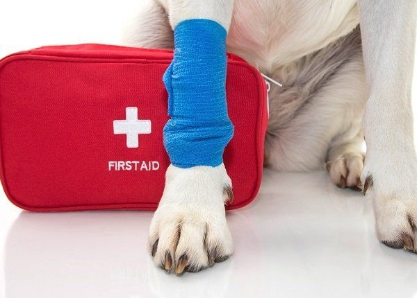 pet first aid awareness month. INJURED DOG. CLOSE UP PAW LABRADOR WITH A BLUE BANDAGE OR ELASTIC BAND ON FOOT AND A EMERGENCY OR FIRT AID KIT. ISOLATED STUDIO SHOT AGAINST WHITE BACKGROUND.