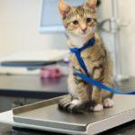 Little kitten on weight scale at the veterinarian