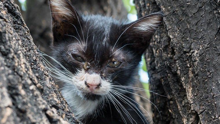 Wenig ängstlich, schmutzig entladene Augen schwarz-weiß Kätzchen auf Baum, selektiver Fokus auf sein Auge
