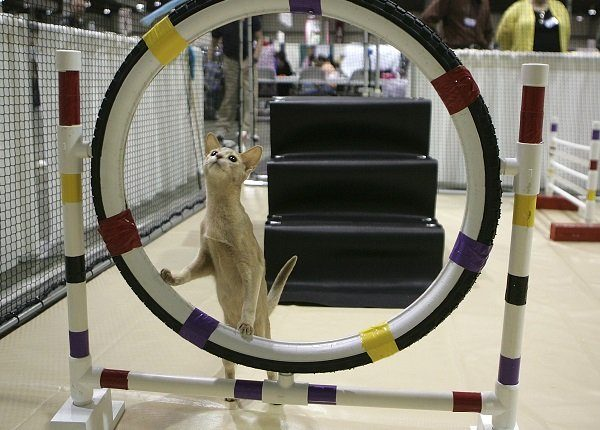 SAN MATEO, CA - NOVEMBER 18: An Abyssinian cat contmeplates jumping through a hoop while practicing an agility course during the 18th Annual Cat Fanciers